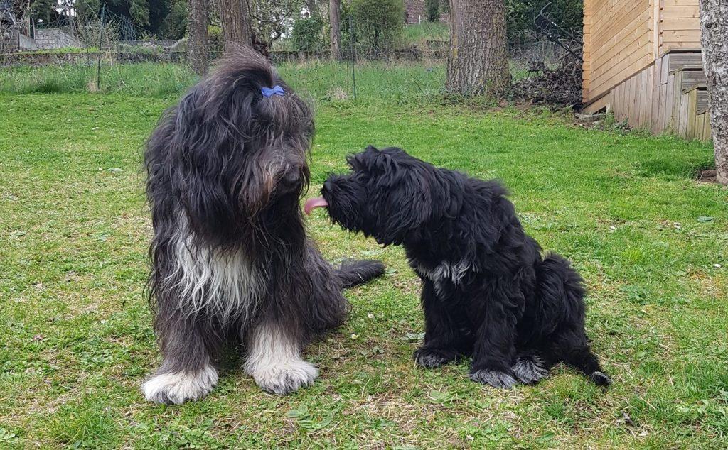 Zwei Schapendoes Hunde spielen