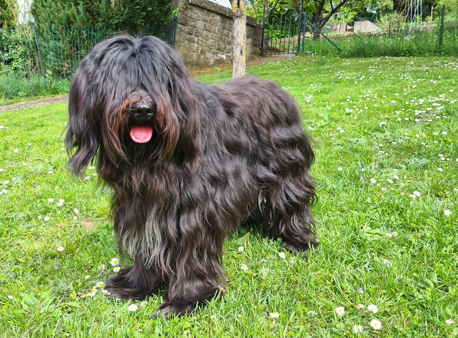 Schapendoes Hund im Garten