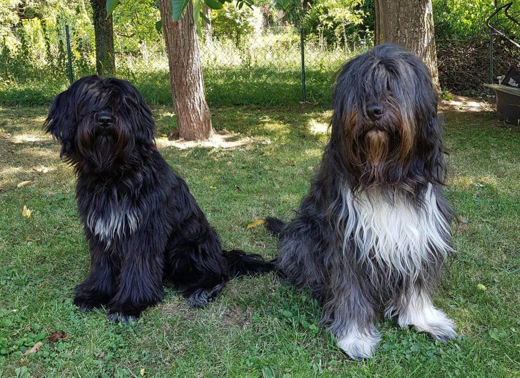 Schapendoes Hunde sitzend