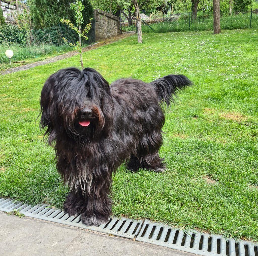 Ein Schapendoes Hund auf grüner Wiese