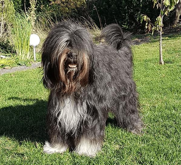 Schapendoes Hund in der Sonne